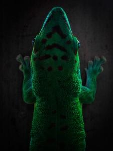 gecko capture